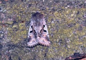 Vlinders (13)