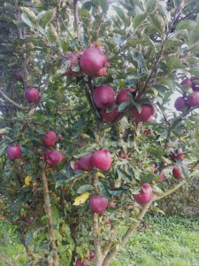 Rijpe appels