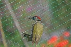 Specht in net, foto van Helen Lind (lid)