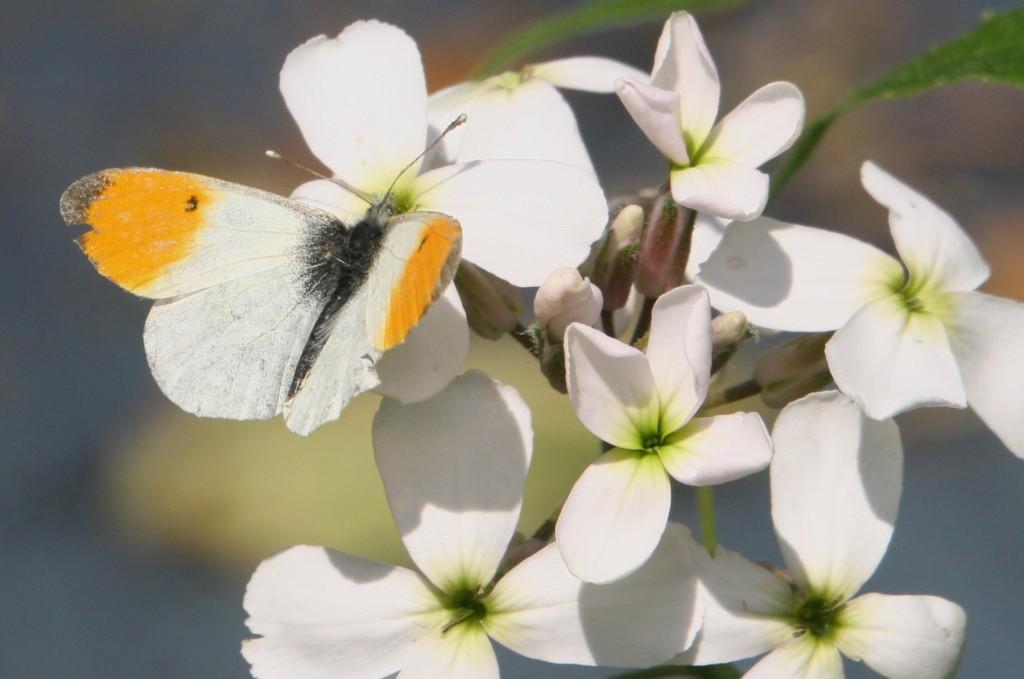 Oranjetip, foto van Bea Koetsier (lid)