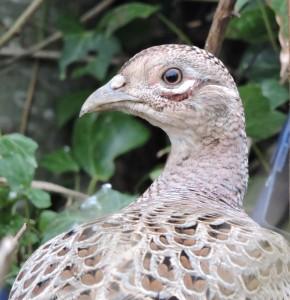 Fazant hen , foto Helen Lind (lid)