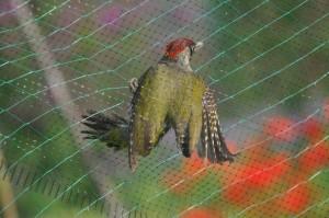 Groene specht, foto Helen Lind (lid)