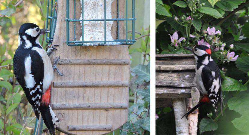 Grote bonte specht: Links = vrouwtje, Rechts = mannetje, foto's van Helen Lind (lid)