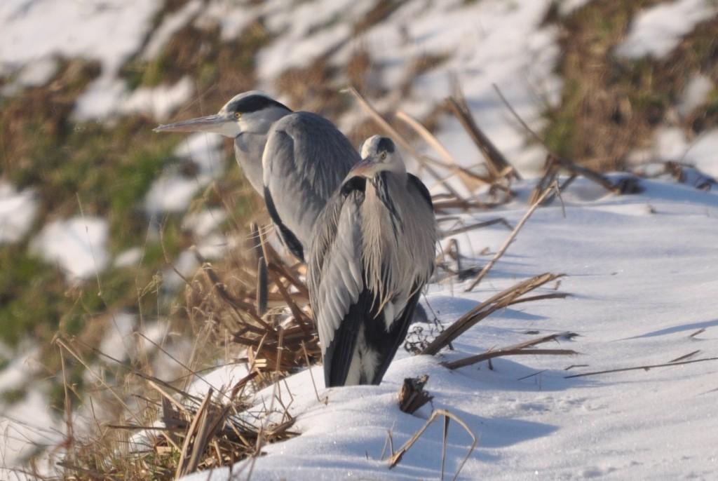 Reigers in de sneeuw, foto Helen Lind (lid)